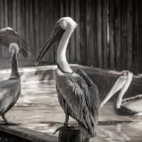 Pelicans bathing, FL