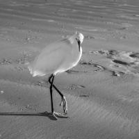 Heron on North Redington Beach, FL